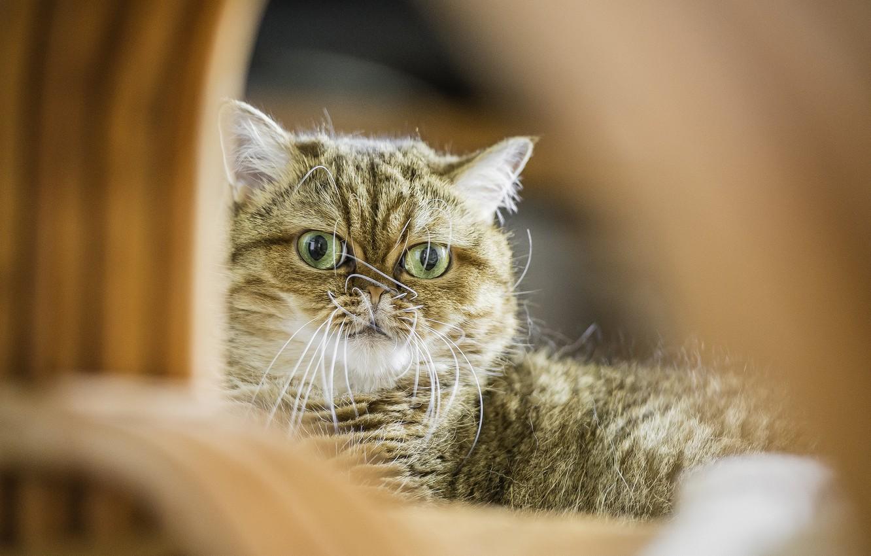 Photo wallpaper cat, look, Koshak, Tomcat, Shorthair