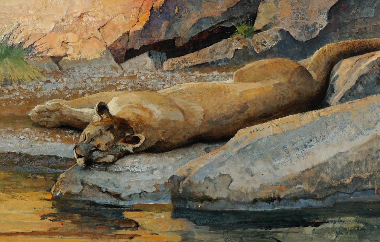 Photo wallpaper cat, water, stream, stones, stay, sleep, predator, picture, art, lies, Puma, drink, wild, boulders, Bob …