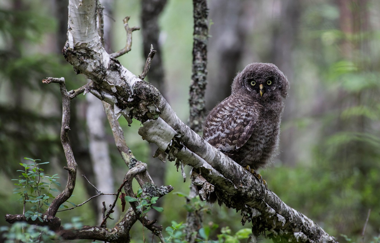 Photo wallpaper forest, tree, owl, bird