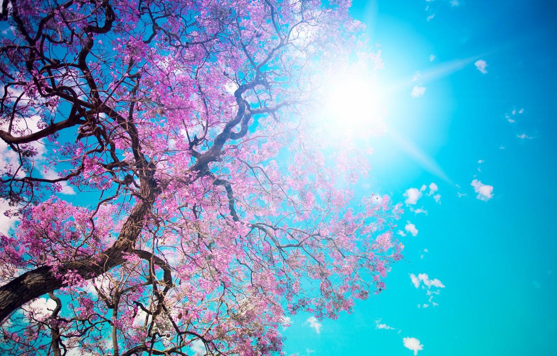 Photo wallpaper the sky, the sun, tree, blue, beauty, petals, pink, flowering, Beautiful tree blossom, dazzling