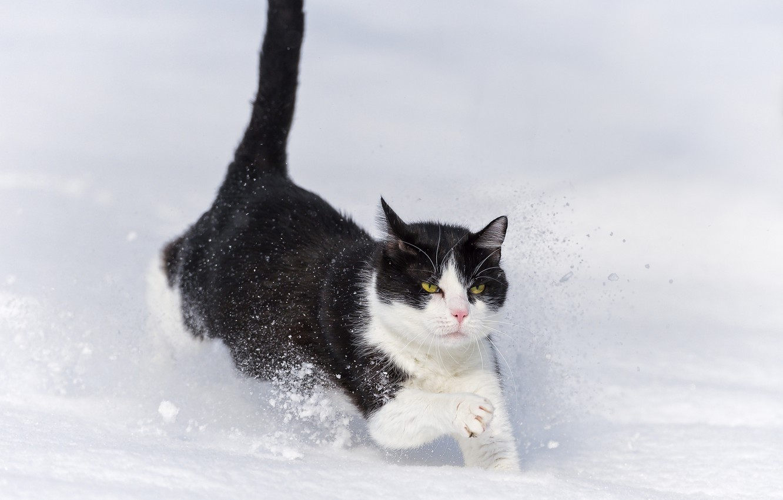 Photo wallpaper winter, cat, cat, snow, the snow, runs, ©Tambako The Jaguar