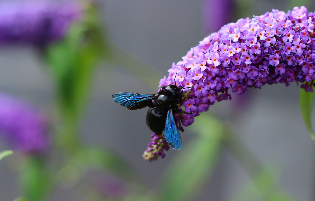 Photo wallpaper flowers, black, wings, insect, bumblebee