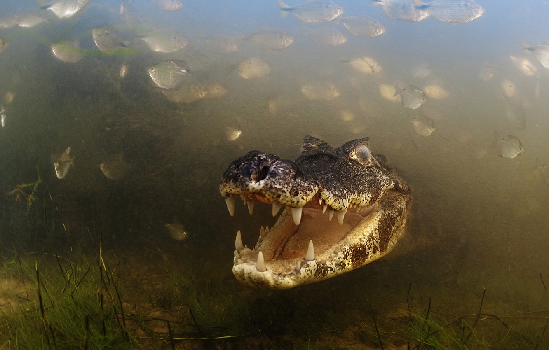 Photo wallpaper Brazil, Brasil, River, Caiman, Alligator, Pantanal, Mato Grosso, Fishes, Aquatic Vegetation, Teeths
