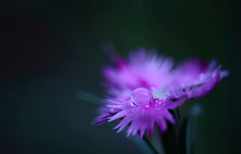 Photo wallpaper flower, water, macro, Rosa, pink, plant, color, drop, petals, carnation, field