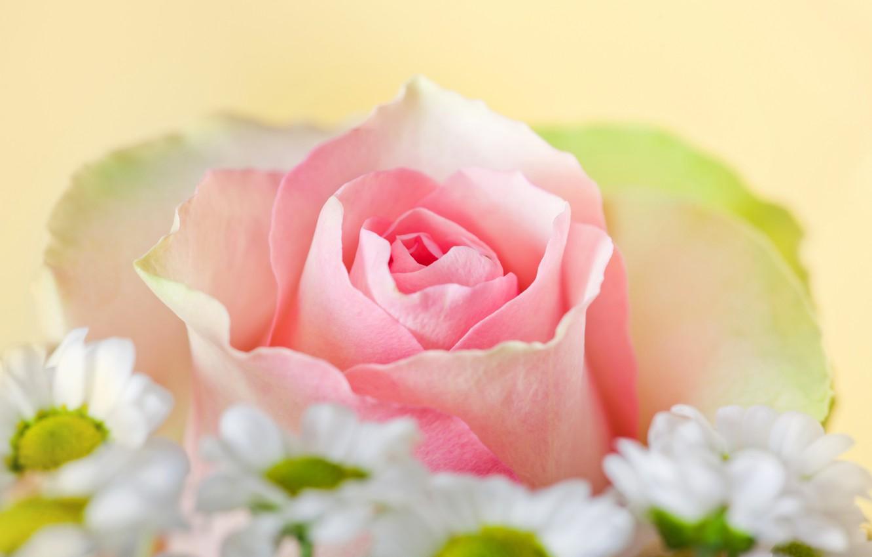 Photo wallpaper photo, Flowers, Pink, Roses, Closeup