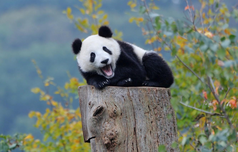 Wallpaper autumn, forest, Panda, bear