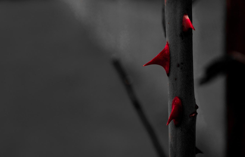 Wallpaper red rose roses black and white macro garden - Black and red rose wallpaper ...