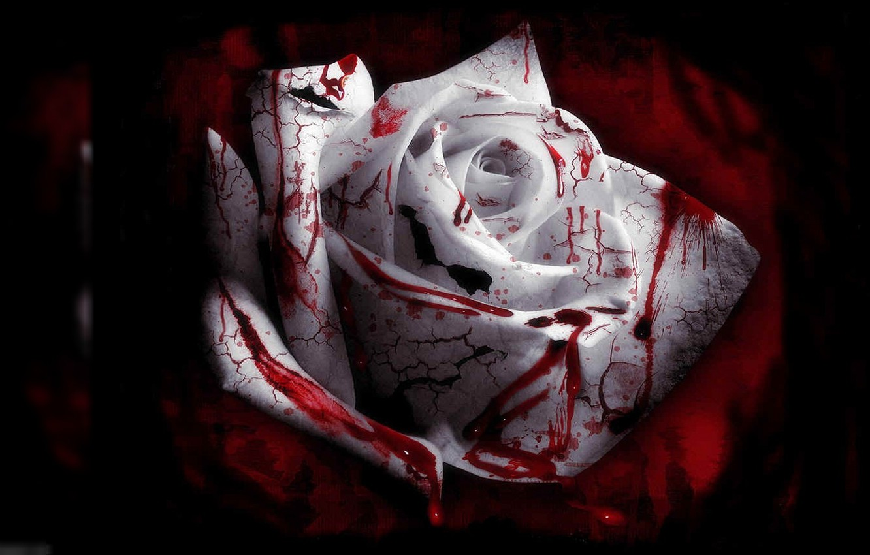 Photo wallpaper blood, rose, blood roses