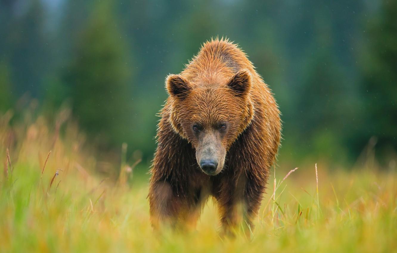 Photo wallpaper summer, bear, meadow, bear, brown