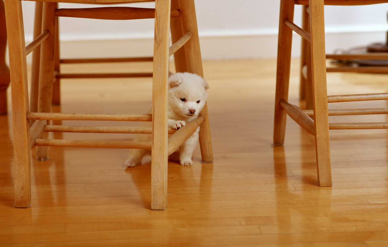 Photo wallpaper animals, white, situation, tree, chairs, dog, fluffy, chair, wooden, dog