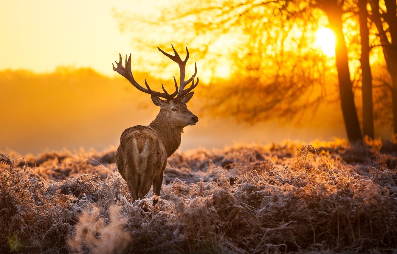 Photo wallpaper forest, the sun, trees, sunset, nature, animal, deer, horns