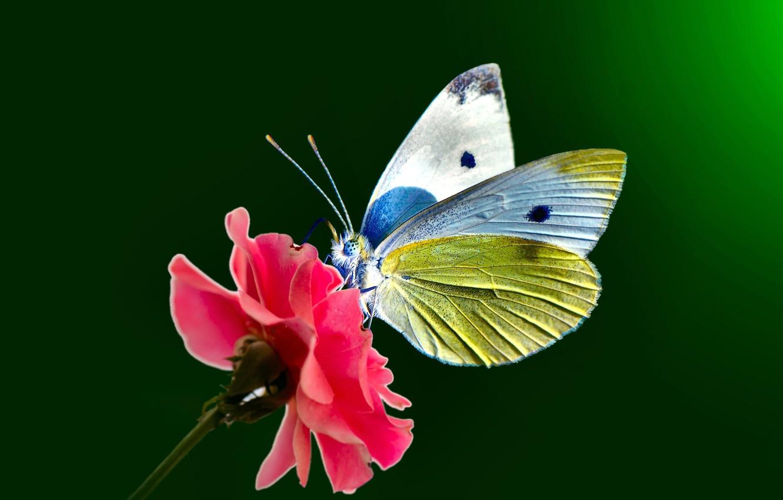 Обои petals, open wings, wings, Butterfly, flower, proboscis, antennae. Макро foto 15