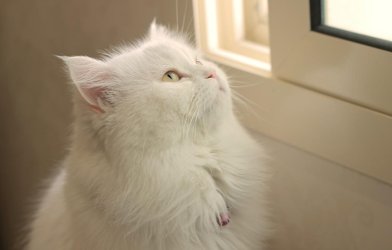 Photo wallpaper cat, cat, look, background, Koshak