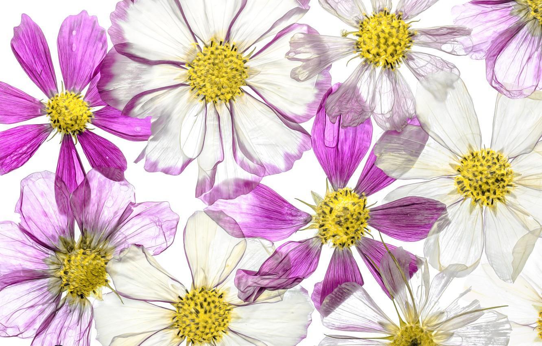 Photo wallpaper flowers, paint, petals, kosmeya