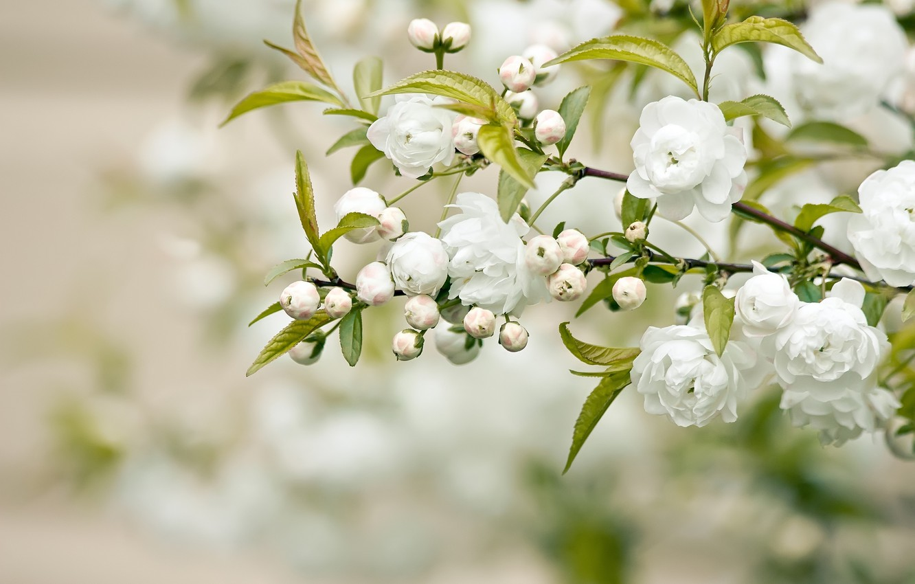 Photo wallpaper leaves, branch, petals, white flowers