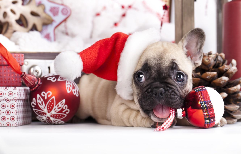 Photo wallpaper balls, toys, dog, puppy, cap, French bulldog