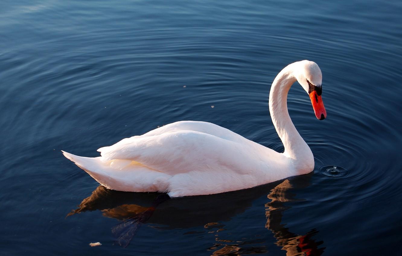 Photo wallpaper water, lake, reflection, bird, Swan