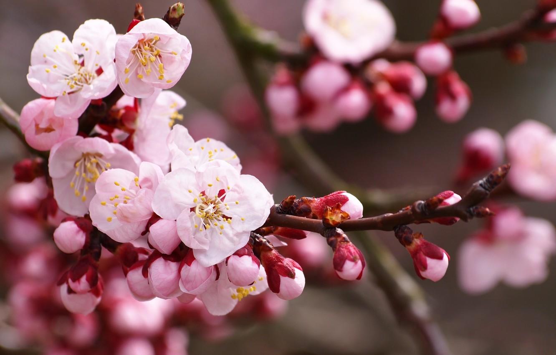 Photo wallpaper flowers, nature, cherry, branch, spring, petals, Sakura, pink, white, buds, flowering
