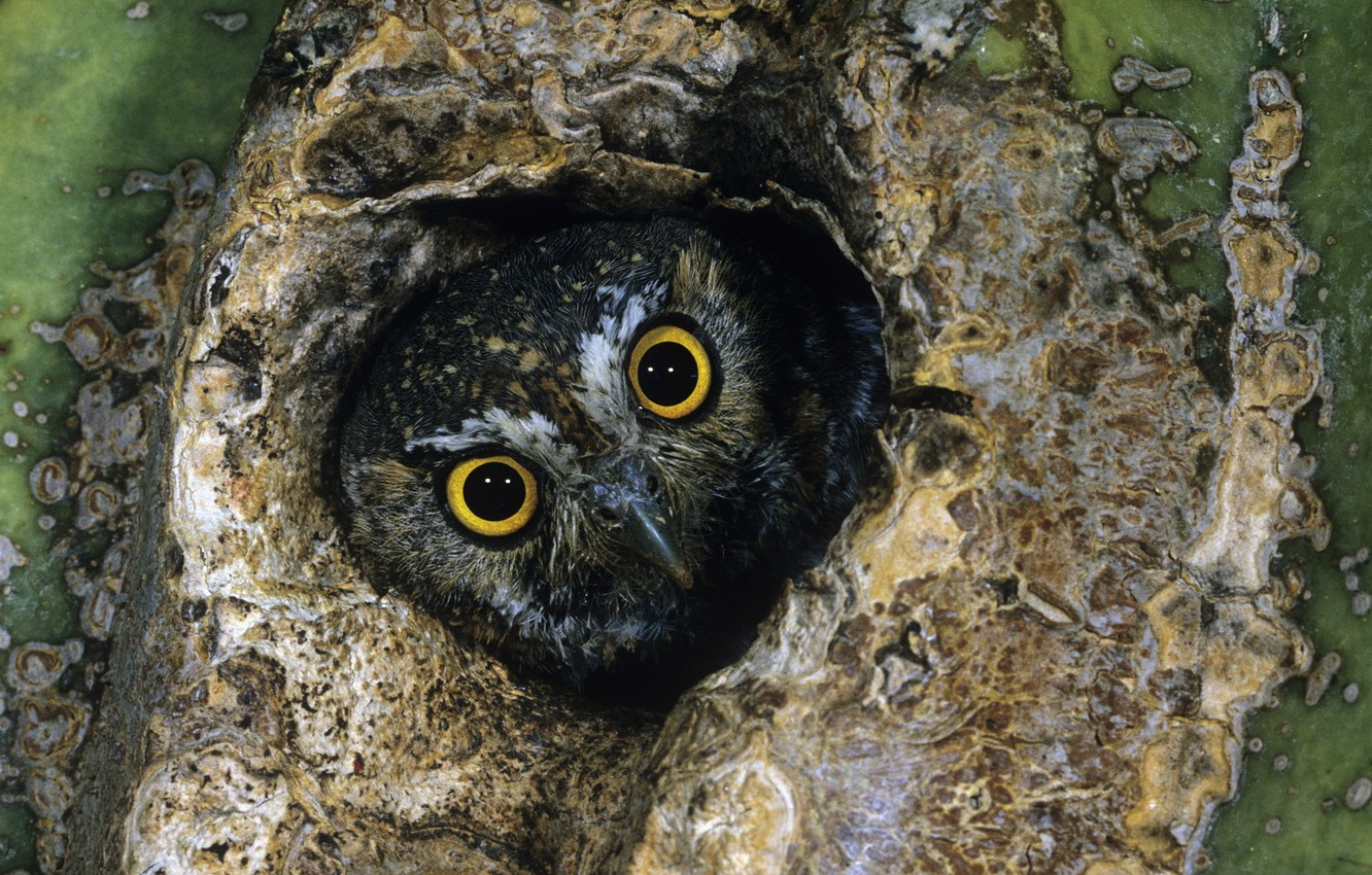 Photo wallpaper eyes, owl, the hollow