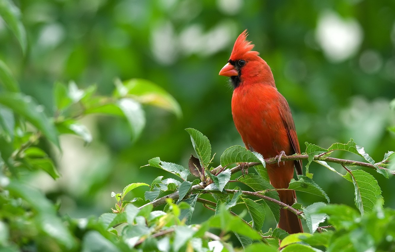 Photo wallpaper animals, red, the cardinals