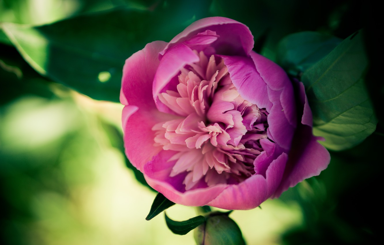 Photo wallpaper flower, petals, peony