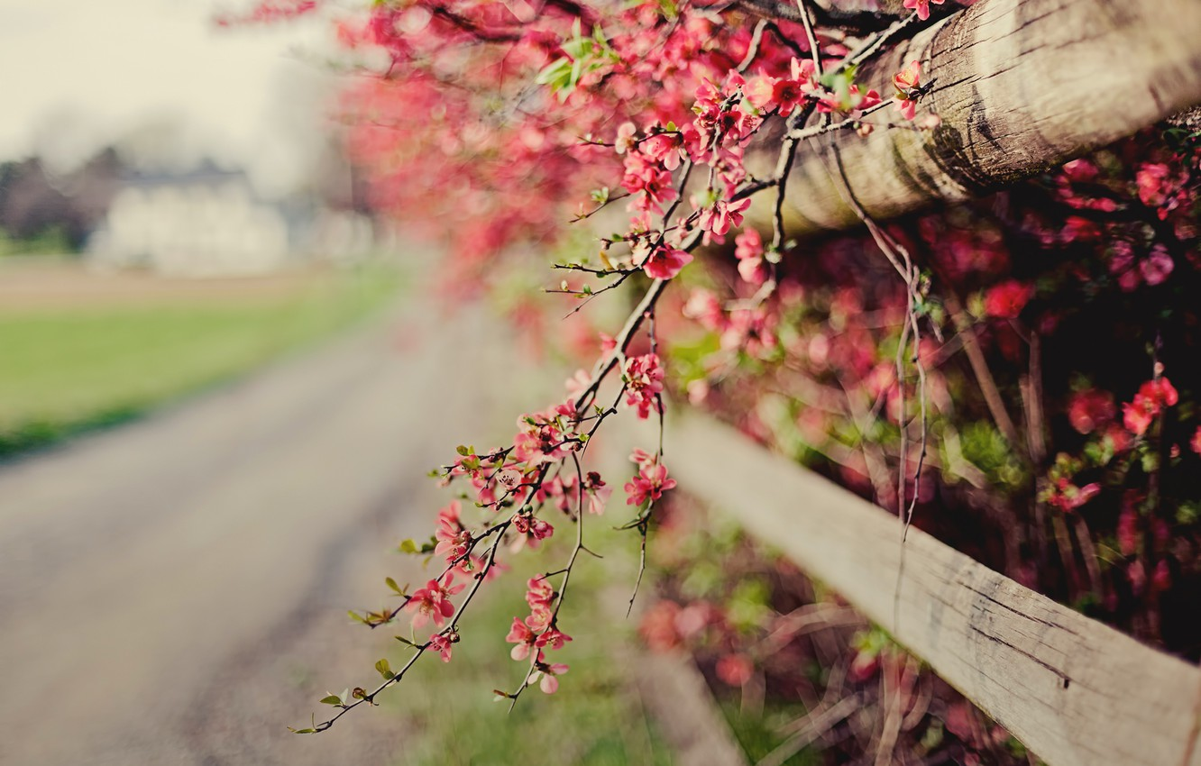 Photo wallpaper flowers, nature, sprig, pink, the fence, focus, spring, fence, flowering, the bushes, bokeh, quince