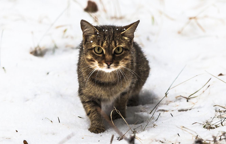 Photo wallpaper eyes, cat, look, snow, Koshak