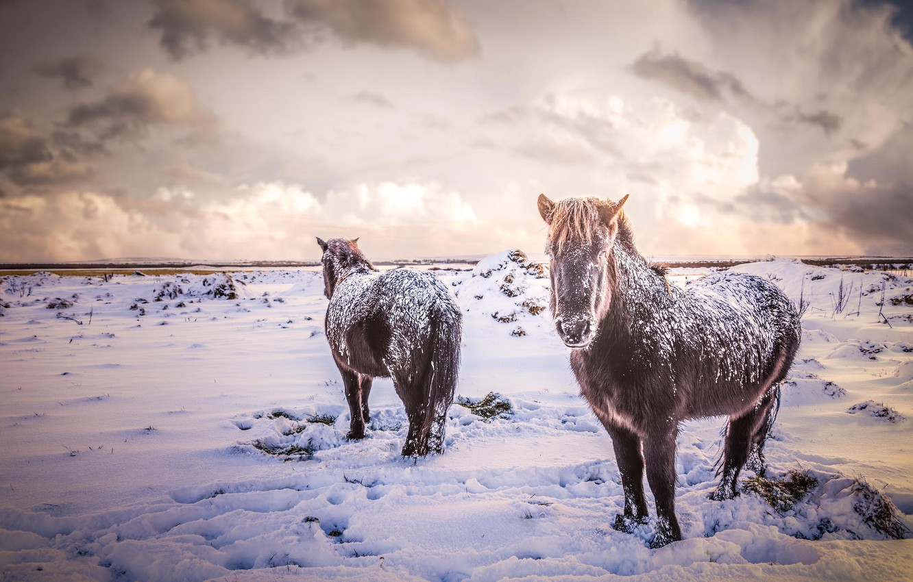 Wallpaper Winter Field Animals Snow Nature Horses