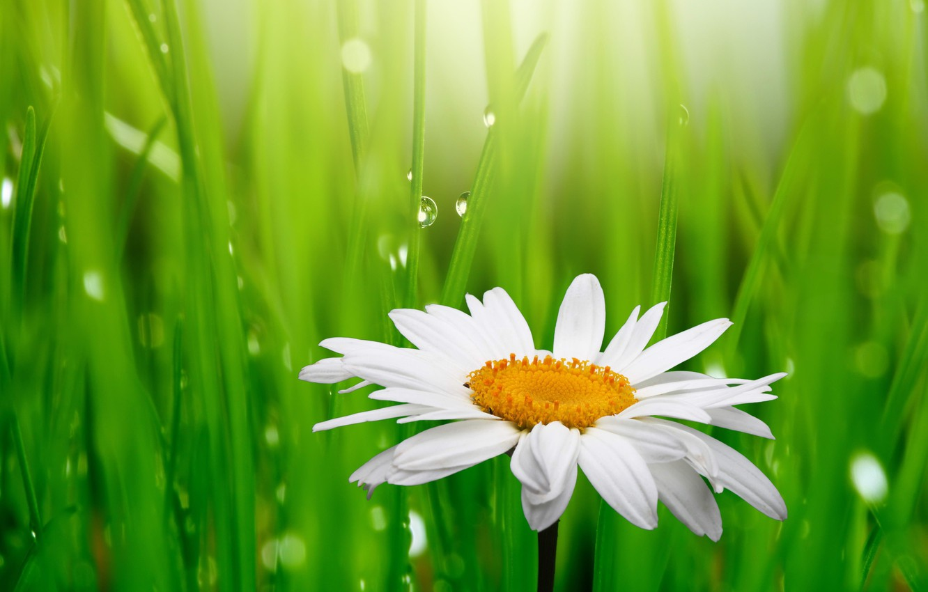 Photo wallpaper grass, drops, flowers, freshness, Rosa, green, beauty, spring, Daisy, white, white, grass, water, flowers, green, …