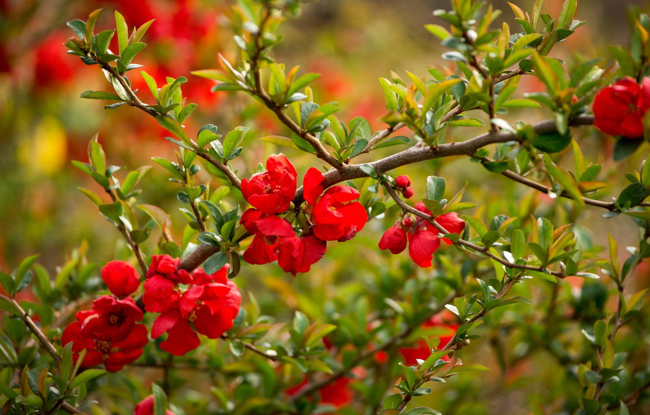 Photo wallpaper flowers, branch, flowering, quince