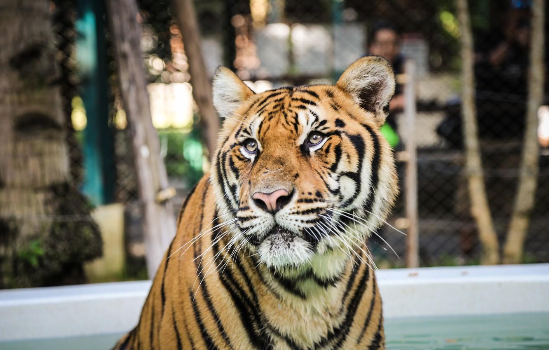 Photo wallpaper strips, tiger, predator