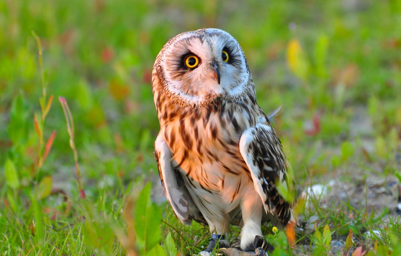Photo wallpaper owl, bird, Short-eared owl