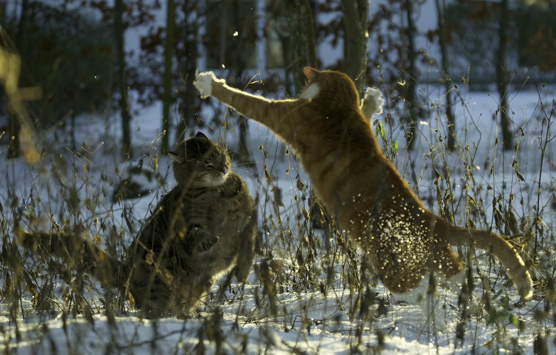 Photo wallpaper snow, cats, cats, the evening, fight, cat, Mats&Muffi's, sing