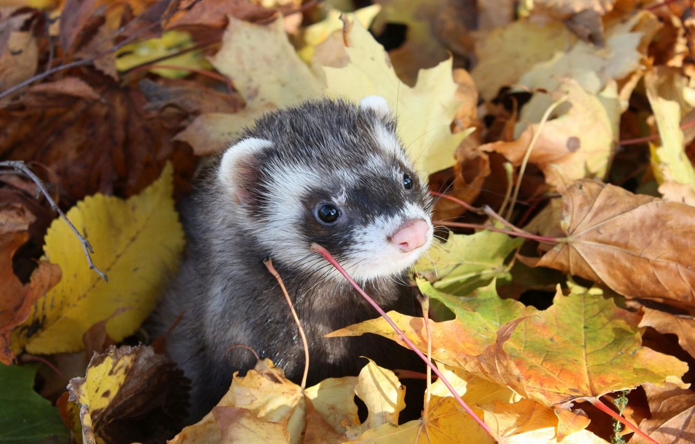 Photo wallpaper autumn, leaves, muzzle, Freda, Ferret
