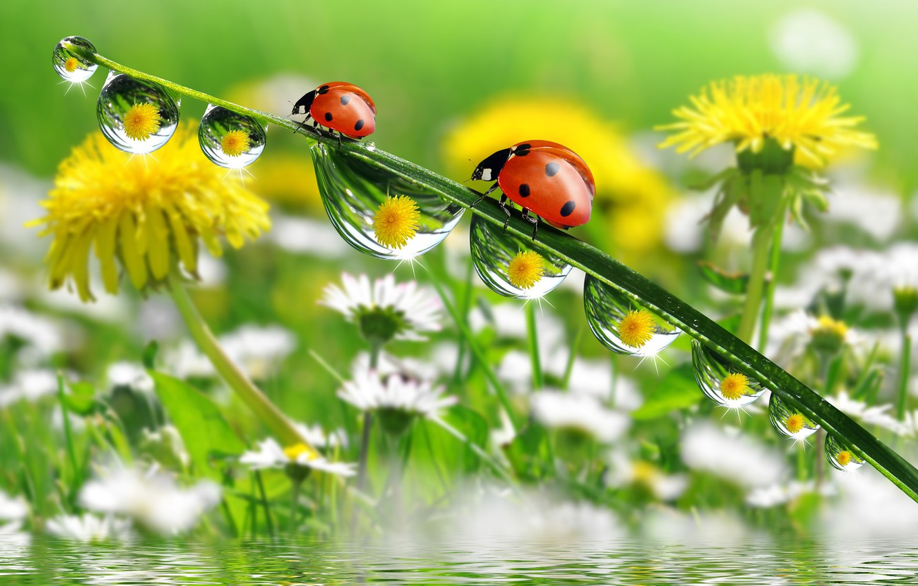 Photo wallpaper water, macro, reflection, chamomile, ladybugs, a blade of grass, flowers dandelions