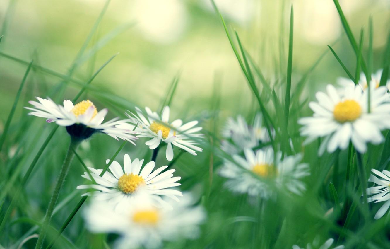 Photo wallpaper grass, chamomile, daisies