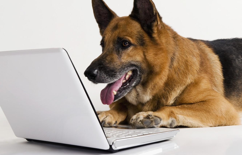 Photo wallpaper white, background, dog, laptop, shepherd