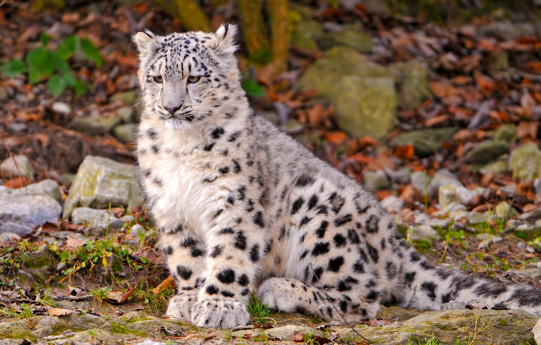 Photo wallpaper snow leopard, kitty, sitting, looks, brooding