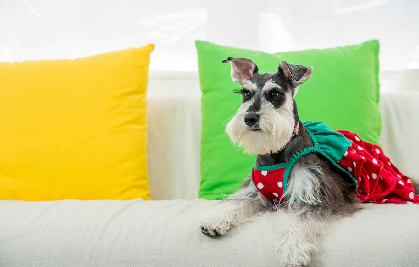 Photo wallpaper dog, pillow, outfit, sundress, The miniature Schnauzer, dwarf Schnauzer