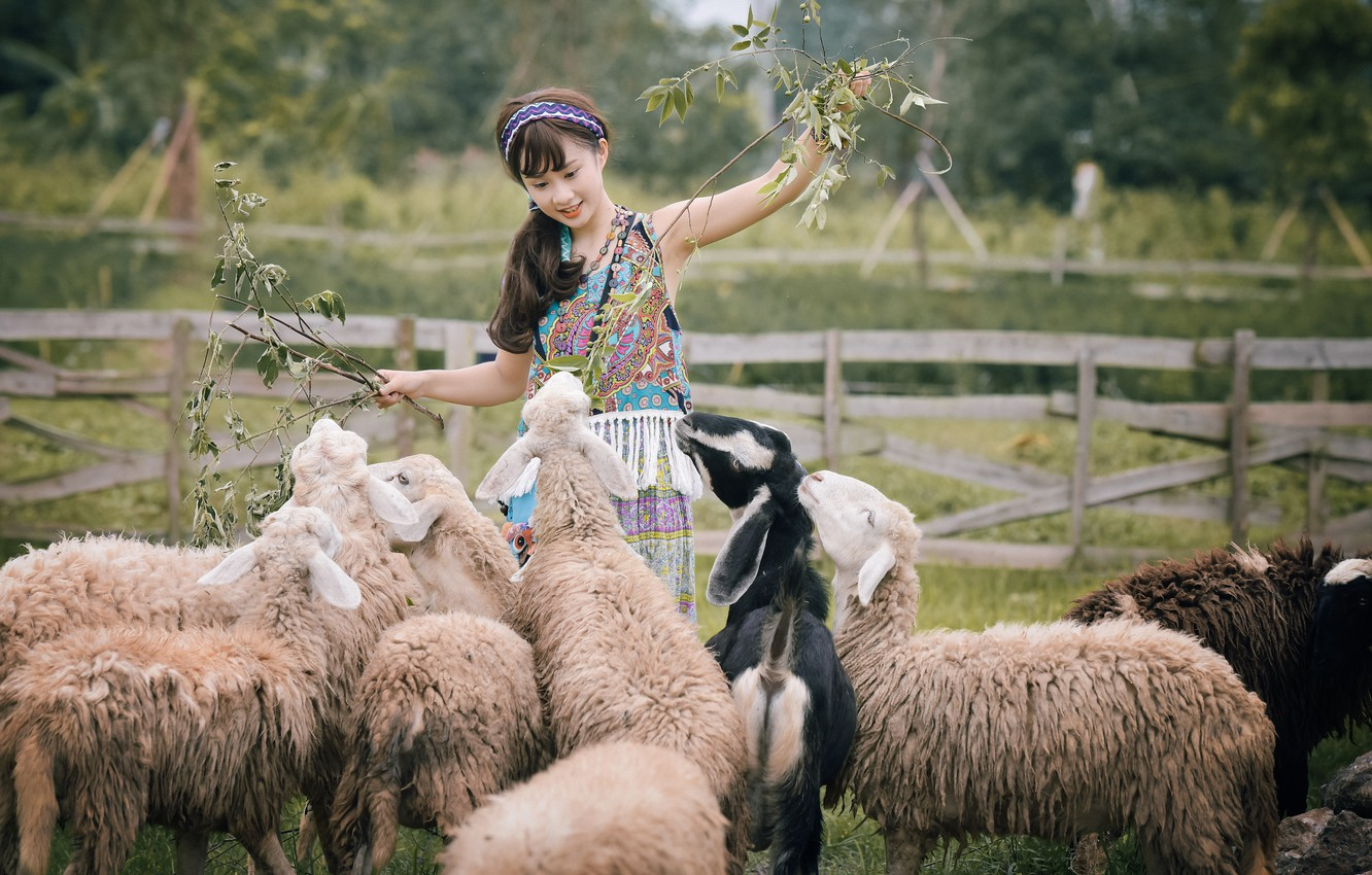 Photo wallpaper nature, smile, sheep, Asian, the herd
