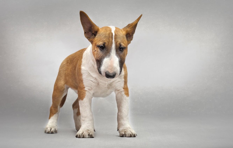 Photo wallpaper each, dog, bull Terrier