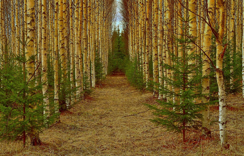 Photo wallpaper forest, alley, birch