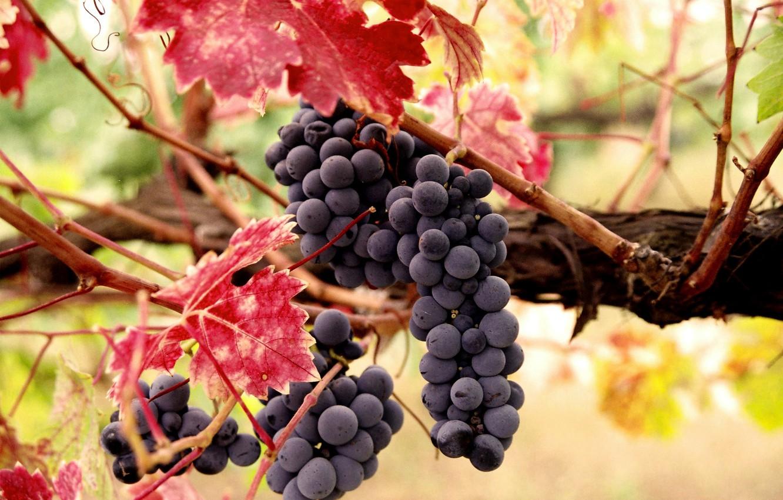 Photo wallpaper autumn, leaves, berries, harvest, fruit, grapes, vine, a thunderstorm