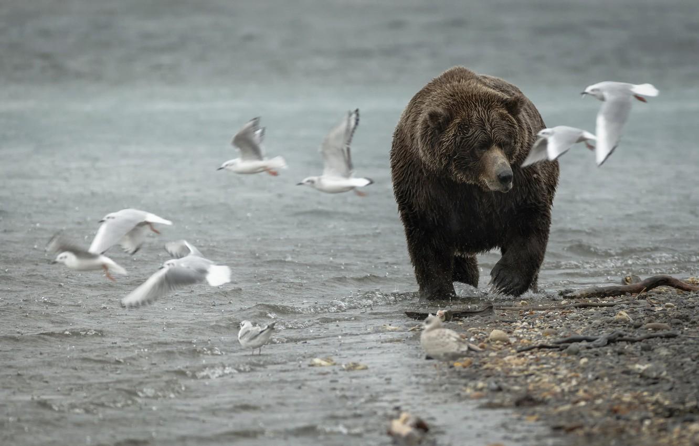 Photo wallpaper nature, seagulls, bear