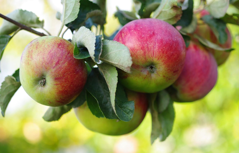 Photo wallpaper apples, branch, fruit, Apple