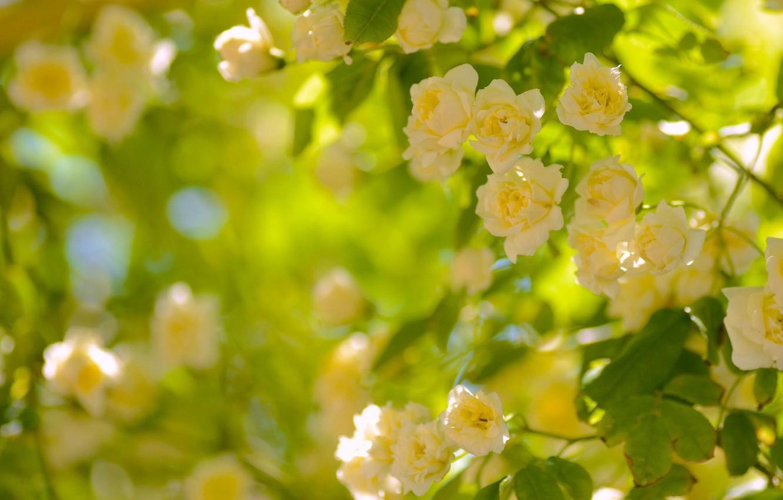 Photo wallpaper flowers, Bush, roses, petals, blur, yellow. buds