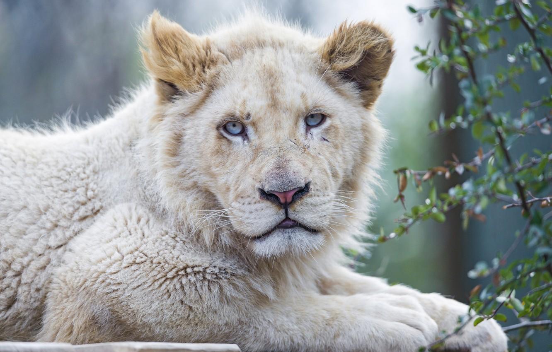 Photo wallpaper cat, face, blue eyes, lion, white lion, ©Tambako The Jaguar