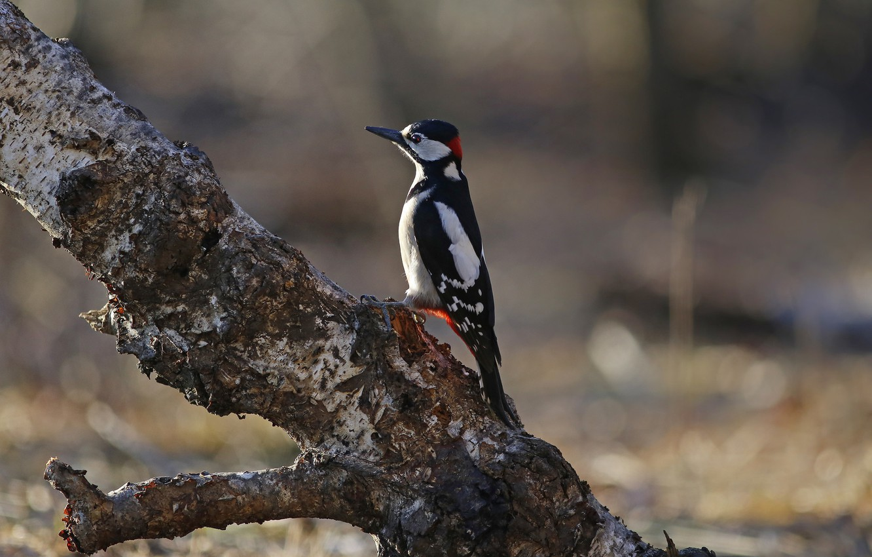 Photo wallpaper tree, bird, beak, woodpecker