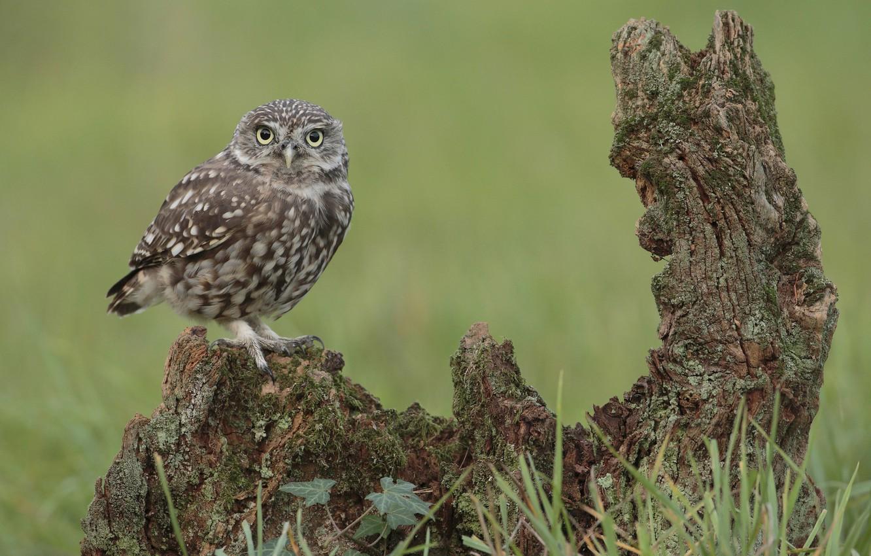 Photo wallpaper grass, look, owl, bird, snag