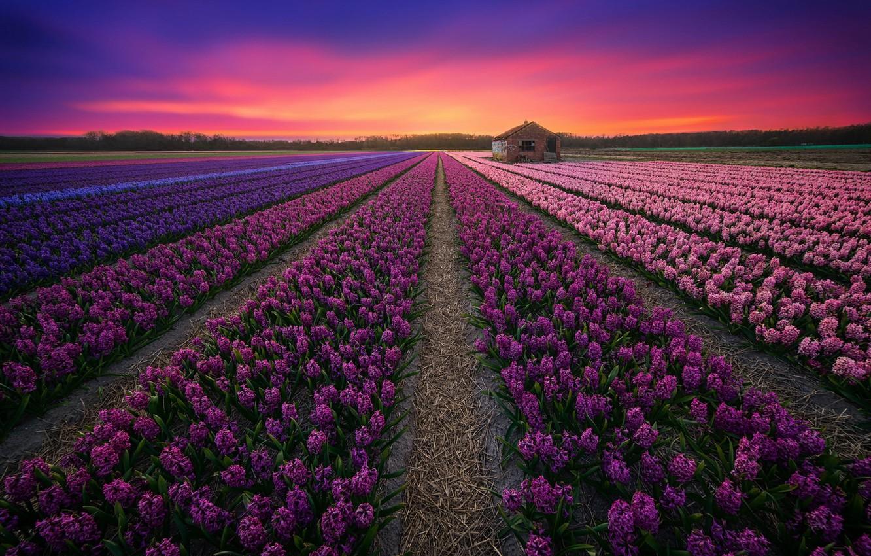 Photo wallpaper field, sunset, lavender